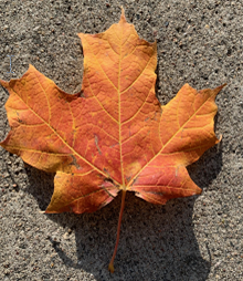 orange-red leaf
